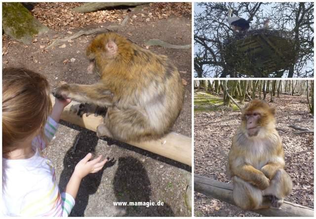 Affen füttern auf dem Affenberg Salem