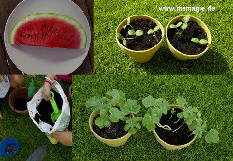 Wassermelonen aus Kernen selbst ziehen