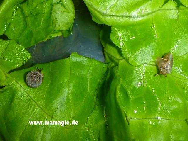 Winzige Schnecken mit Salat füttern